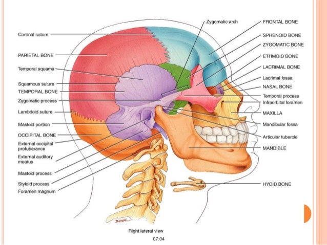 The bones of the neck diagram electrical work wiring diagram osteology of head and neck rh slideshare net human neck bones diagram neck bones diagram ccuart Image collections